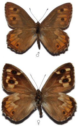 Hipparchia blachieri