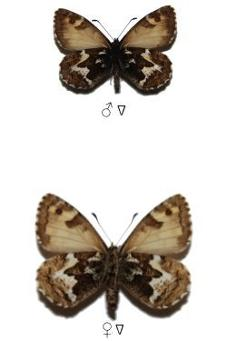 Hipparchia occidentalis