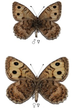 Pseudochazara williamsi williamsi